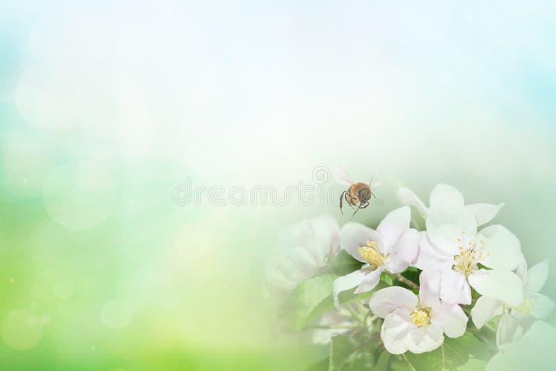Pszczoła na gałąź okwitnięcie wiśnia w wiośnie w górę makro- na naturze na zieleni i żółtym błękitnym kwiecistym tle Dla Easter p obrazy stock