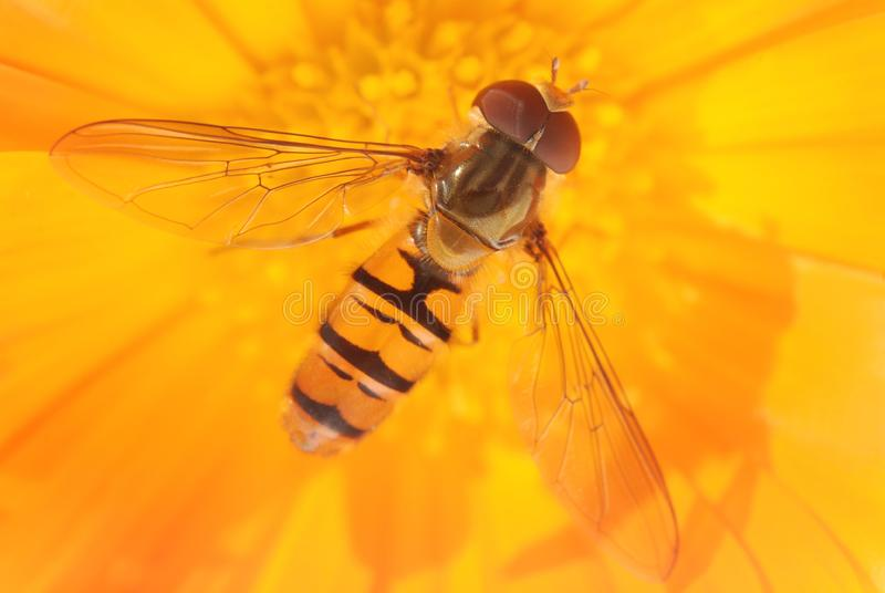 Pszczoła na gerber obraz stock