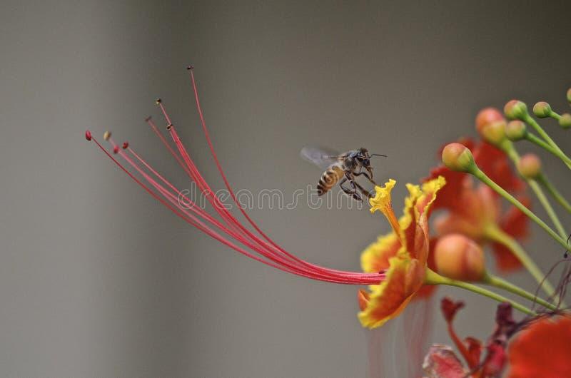 Pszczoła na gulmohar obrazy stock