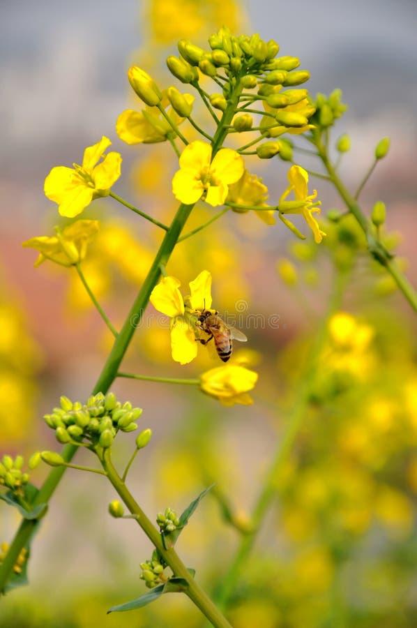 Pszczoła na gwałtów kwiatach obrazy royalty free