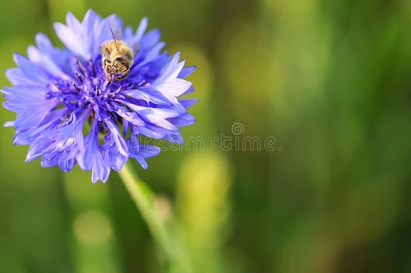 Pszczoła na irysowym fiołkowym kwiacie na ostrości obraz stock