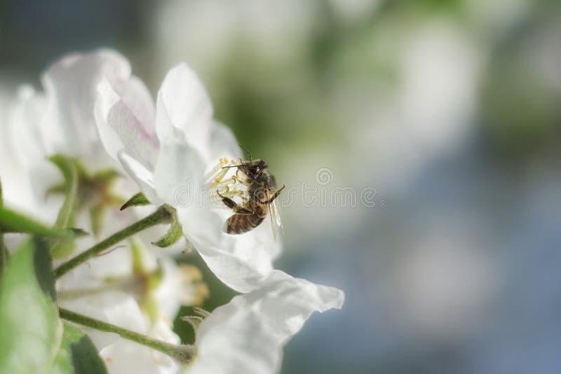Pszczoła na jabłczanym kwiacie fotografia stock