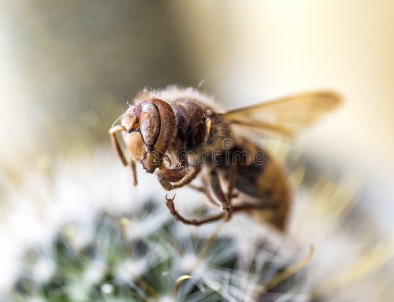 Pszczoła na kaktusie obraz royalty free