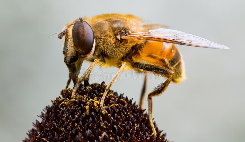 Pszczoła na kwiacie zdjęcia royalty free
