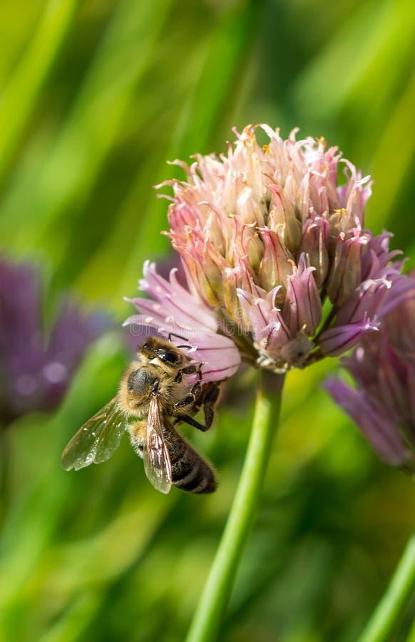 Pszczoła na kwiacie Mały pożytecznie insekt jest pracujący miód i robić Honeybee z skrzydłem na okwitnięciu Wiosna przy wsią ja fotografia stock