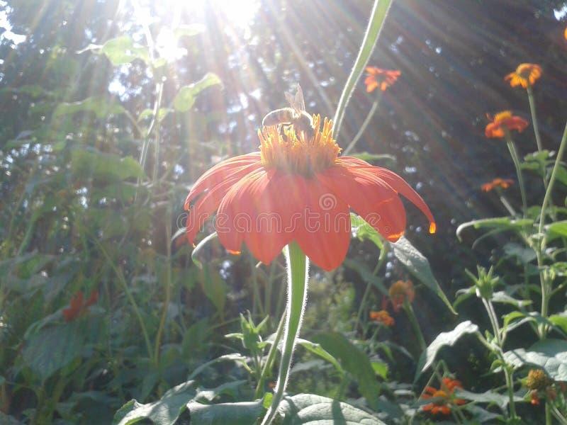 Pszczoła na kwiacie w ogródzie fotografia stock
