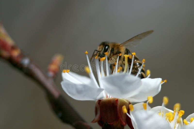 Pszczoła na kwiacie, zakończenie zdjęcia royalty free