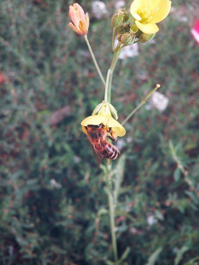 pszczoła na kwiacie zbiera miód obraz stock