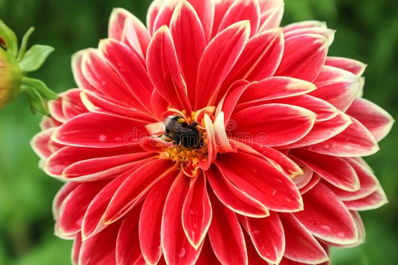Pszczoła na kwiat dalii Georgina zdjęcie royalty free