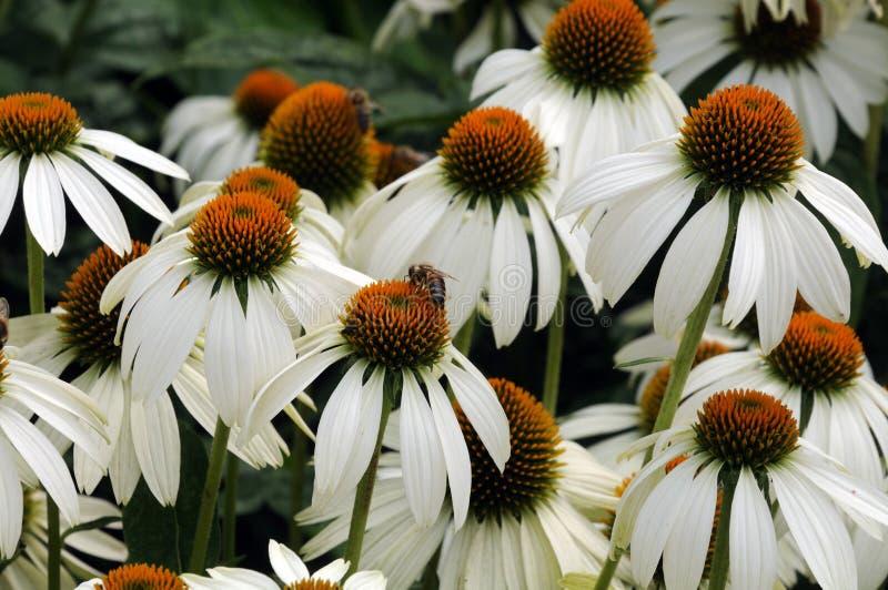 Pszczoła na kwiat głowach biali coneflowers obraz royalty free