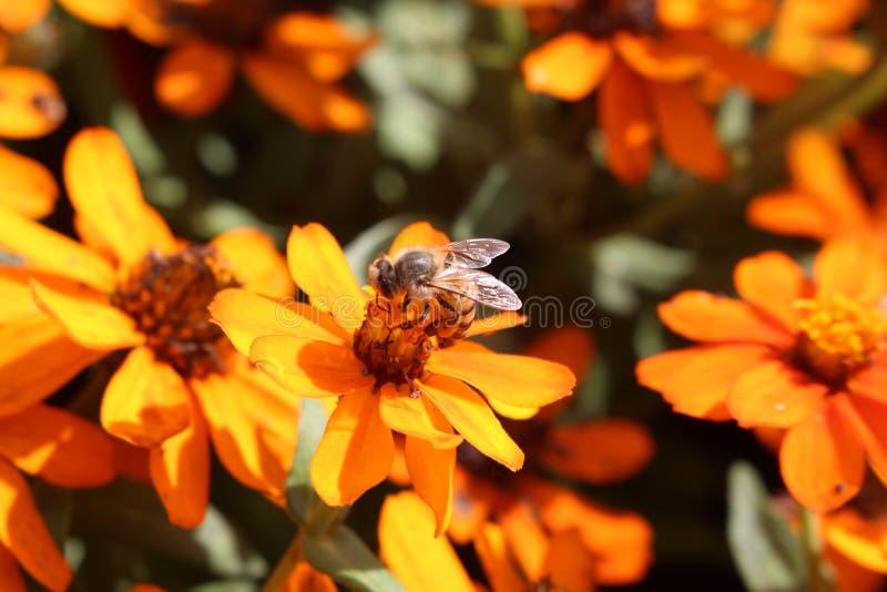 Pszczoła na kwiatach fotografia royalty free