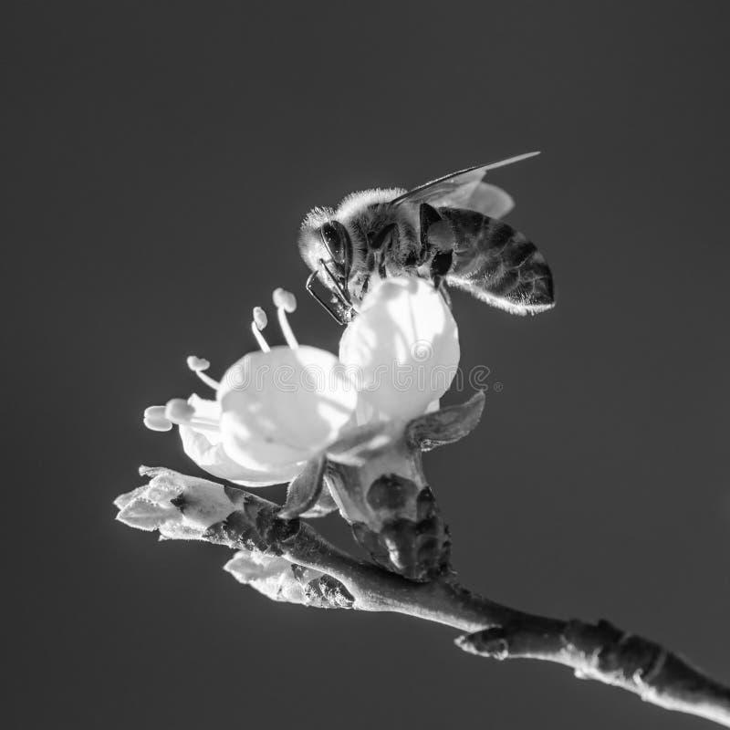 Pszczoła na kwiatonośnej gałąź morela zdjęcie stock