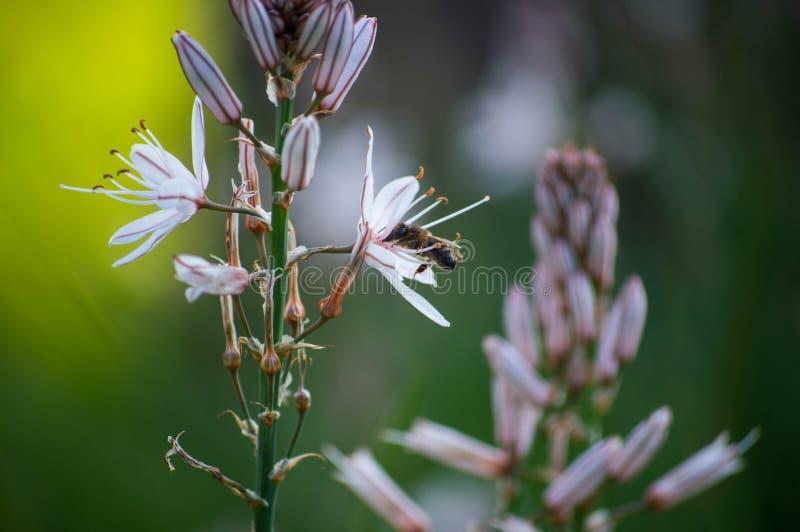 Pszczoła na kwiatu kolekcjonowaniu fotografia royalty free
