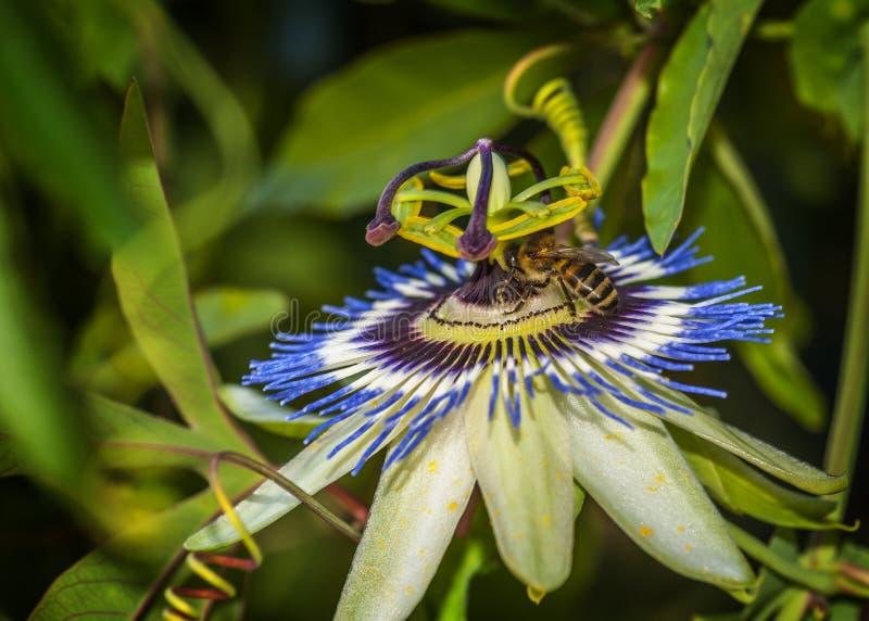 Pszczoła na kwiatu Passiflora coerulea zdjęcia stock