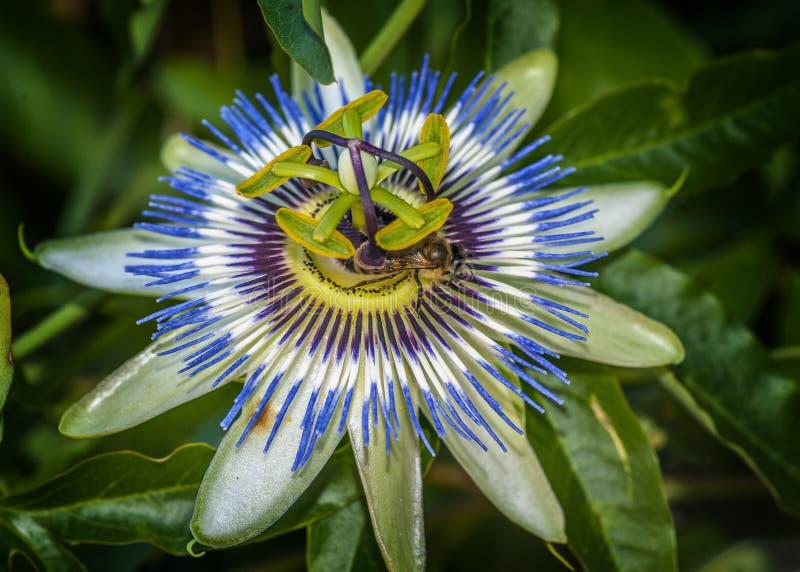 Pszczoła na kwiatu Passiflora coerulea zdjęcie royalty free