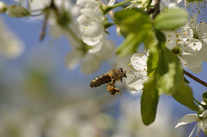 Pszczoła na kwitnącym czereśniowym drzewie wewnątrz może fotografia royalty free