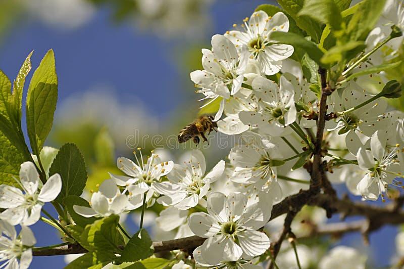 Pszczoła na kwitnącym czereśniowym drzewie wewnątrz może zdjęcia royalty free