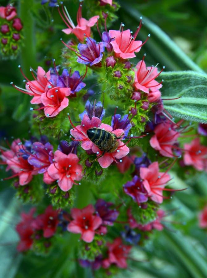 Pszczoła na kwitnącym Tajinaste kwiacie fotografia royalty free