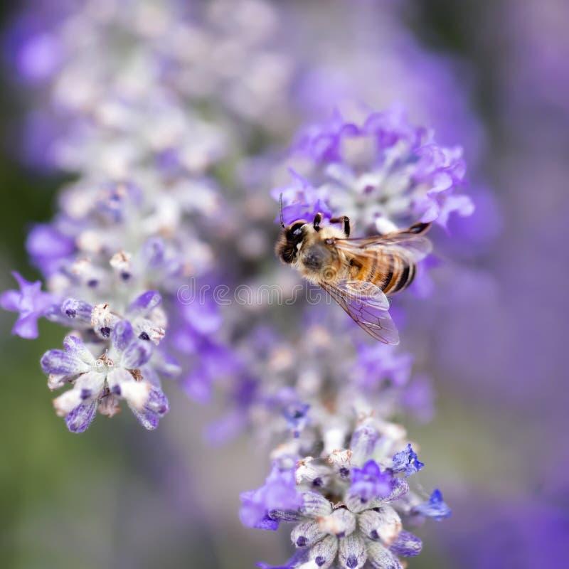 Pszczoła na Lawendowej Miękkiej ostrości obraz stock
