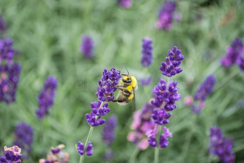 Pszczoła na lawendowych kwiatach zdjęcie stock
