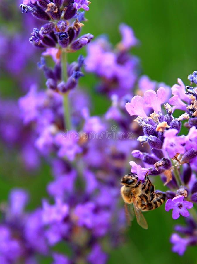 Pszczoła na lawendowym kwiacie w polu fotografia stock