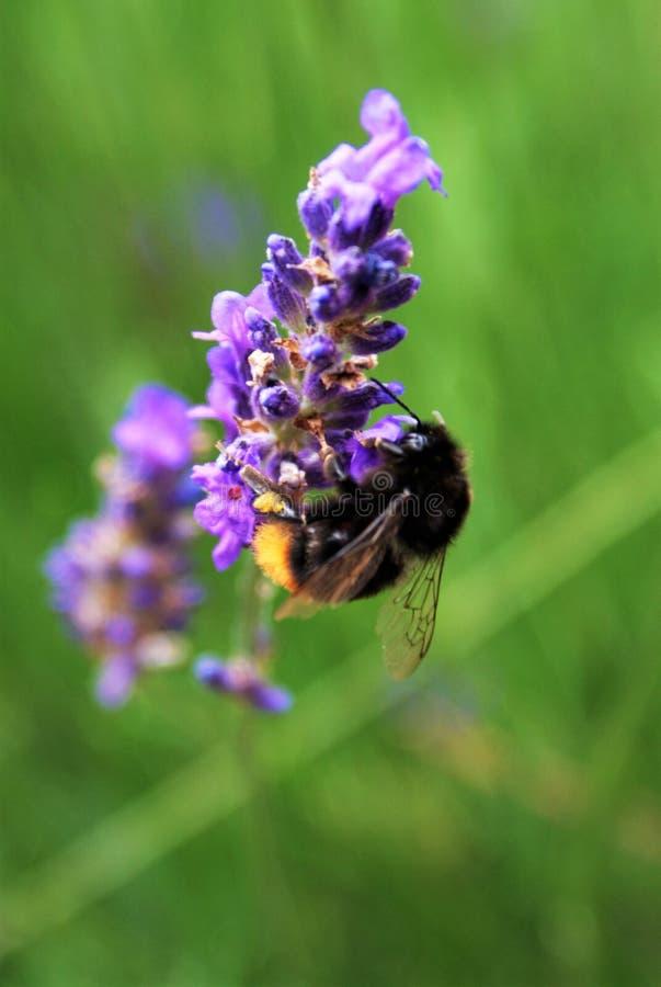 Pszczoła na lawendzie zdjęcie stock