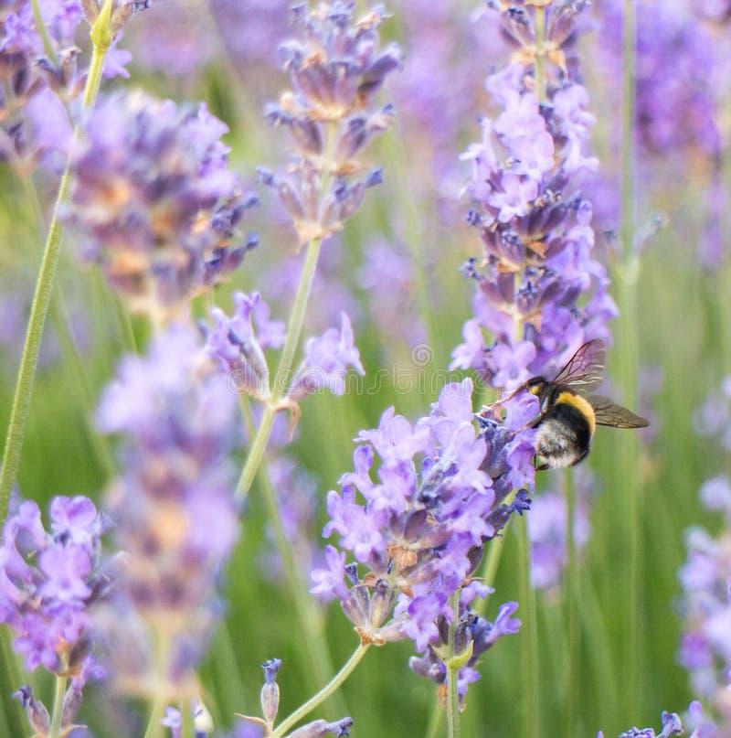 Pszczoła na lawendzie fotografia stock
