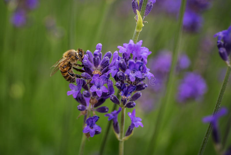 Pszczoła na lawendzie obrazy stock