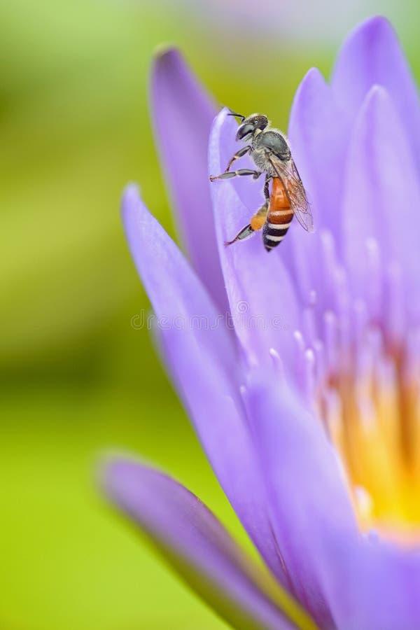 Pszczoła na lotosie obraz stock