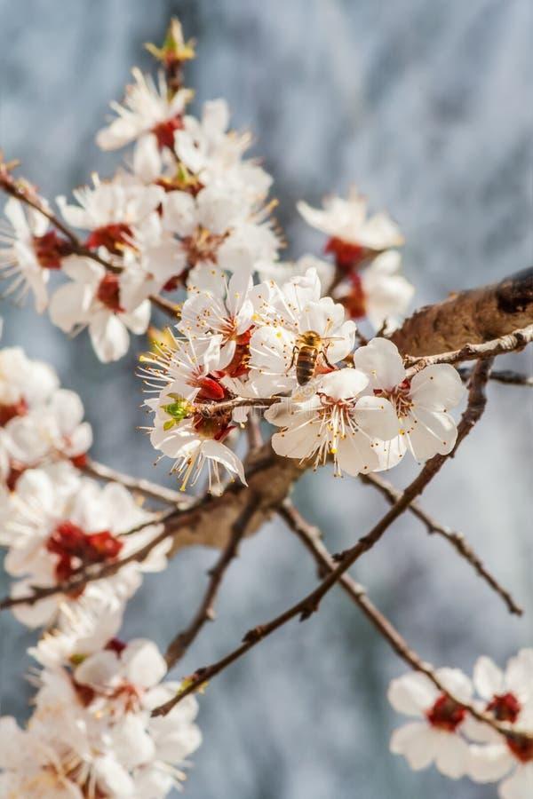 Pszczoła na morelowych okwitnięciach obraz stock