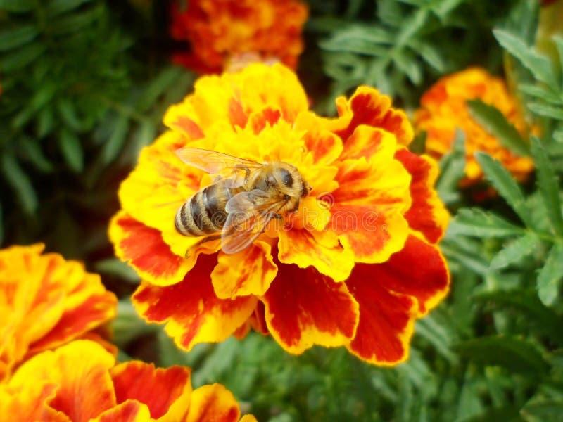 Pszczoła na nagietka kwiacie zdjęcia royalty free