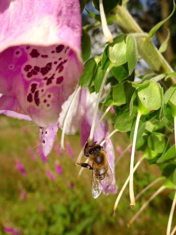Pszczoła na naparstnicie obrazy royalty free