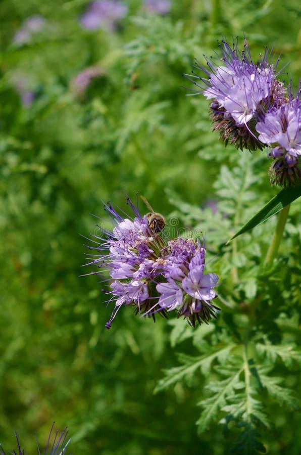 Pszczoła na okwitnięciu zdjęcia royalty free
