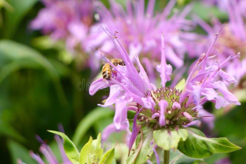 Pszczoła na purpura kwiacie obrazy royalty free