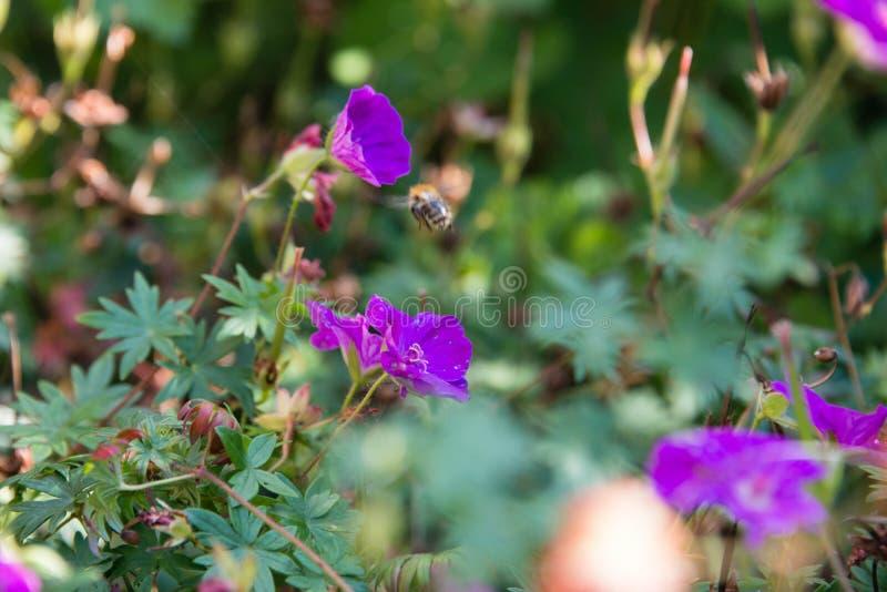 Pszczoła na purpura kwiacie obrazy stock