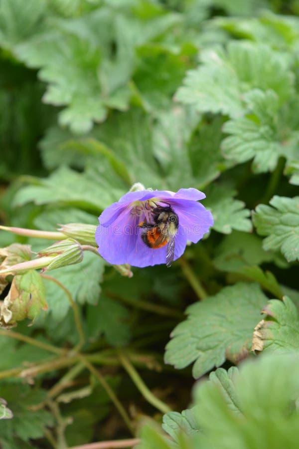 Pszczoła na purpurowym kwiacie obraz stock