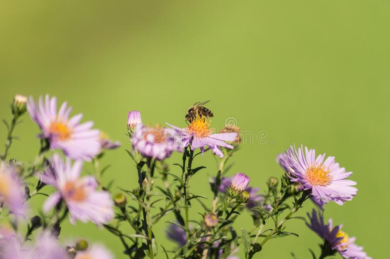 Pszczoła na purpurowym kwiacie na zielonym tle fotografia royalty free