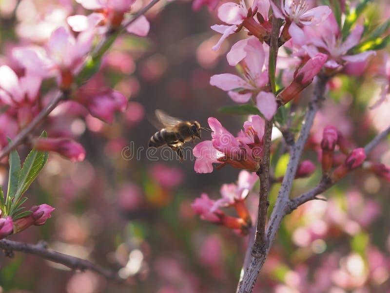 Pszczoła na różowym krzaka kwiatu migdale obrazy royalty free