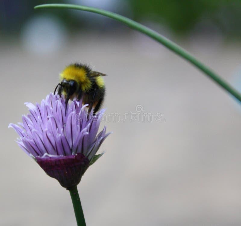 Pszczoła na szczypiorkach fotografia stock