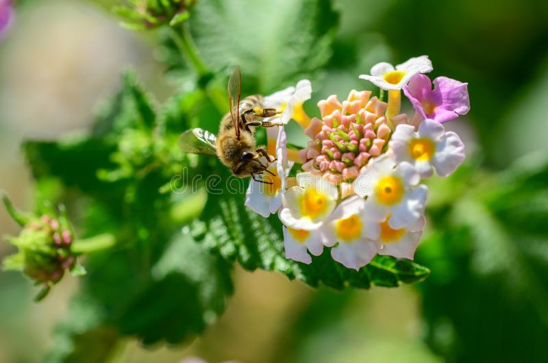 Pszczoła na verbena officinalis obrazy royalty free