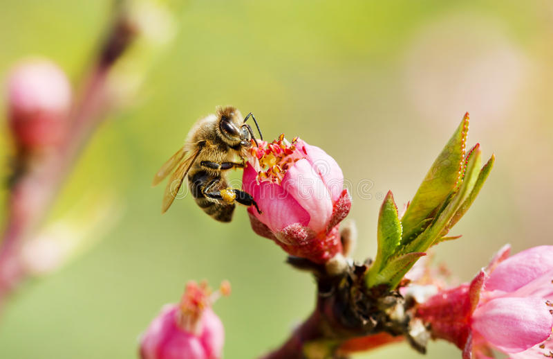 Pszczoła na wiosen menchii kwiacie zdjęcie stock