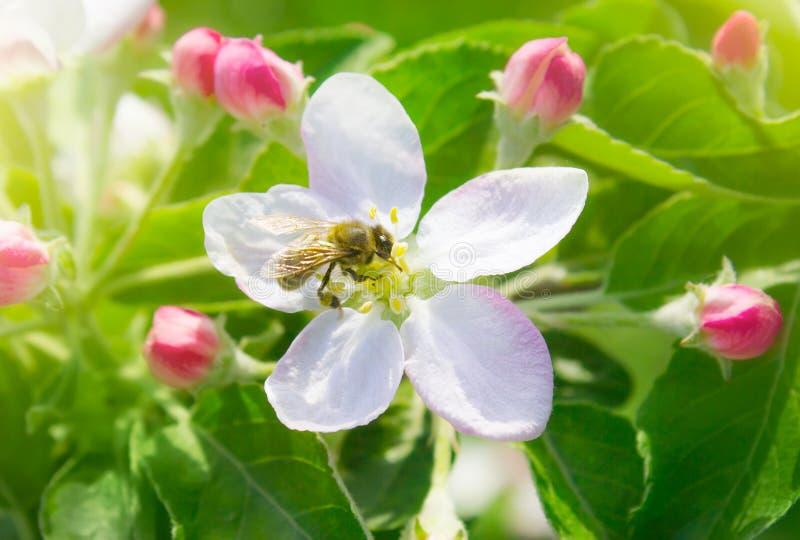 Pszczoła na wiosna jabłczanym kwiacie fotografia royalty free