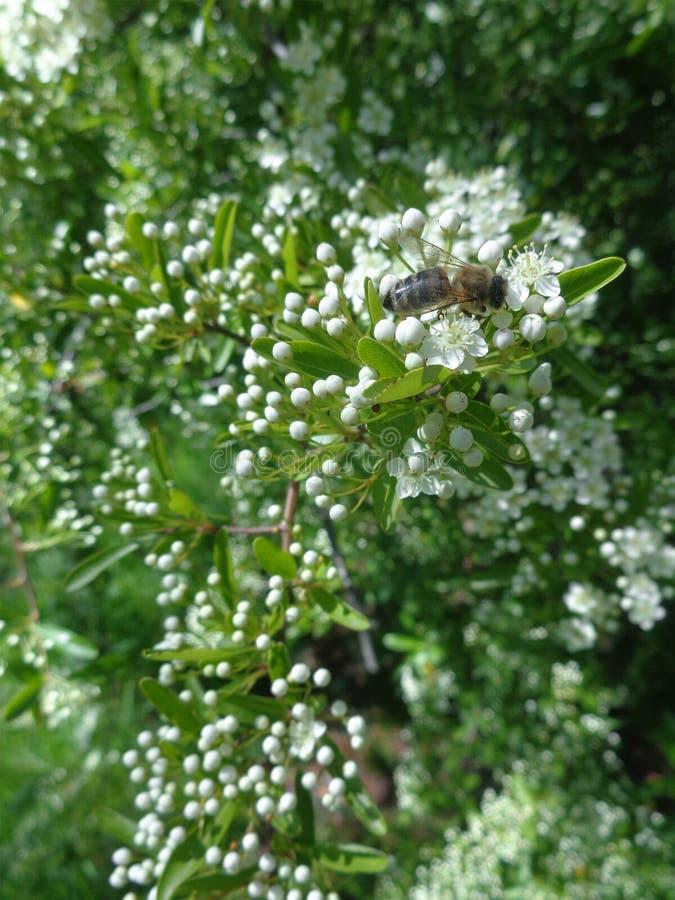 Pszczoła na wiosny kwitnącym drzewie zdjęcia royalty free