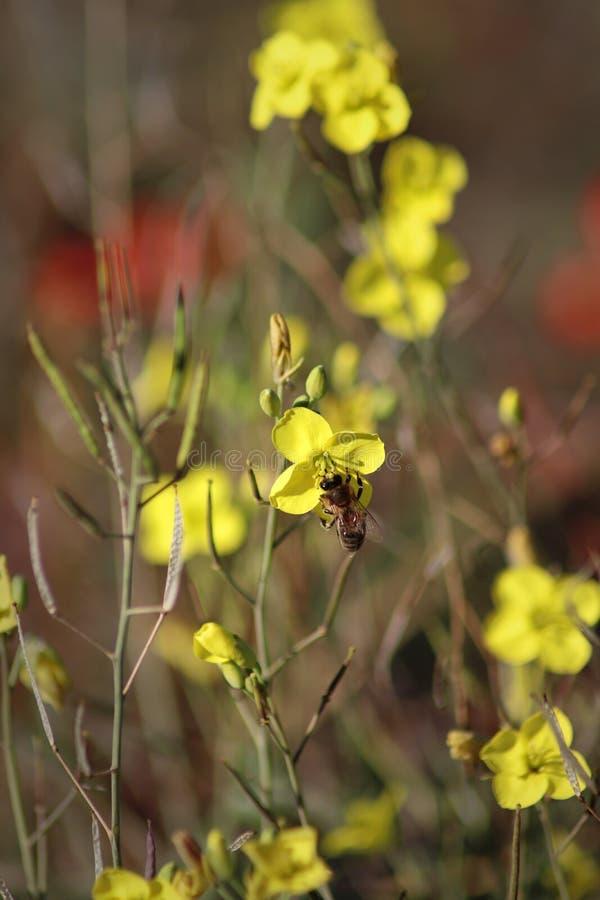 Pszczoła na zimy cress zbliżenie kwitnie kolor żółty obraz royalty free
