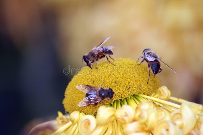 Pszczoła nektar obraz royalty free
