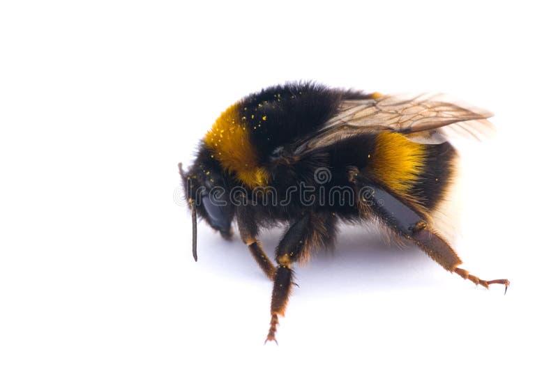 pszczoła odizolowywająca zdjęcia royalty free