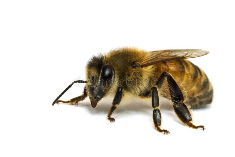 pszczoła odizolowywający pojedynczy biel fotografia stock
