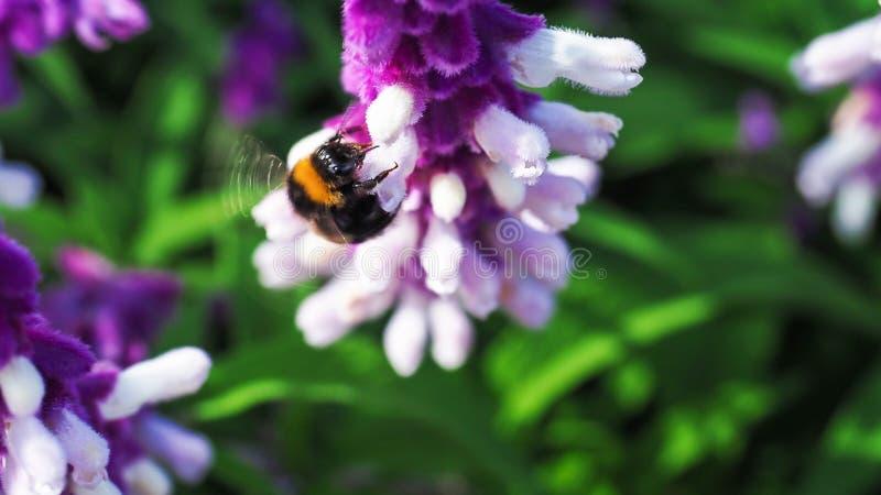 Pszczoła pije nektar od pięknej purpury kwitnie fotografia stock