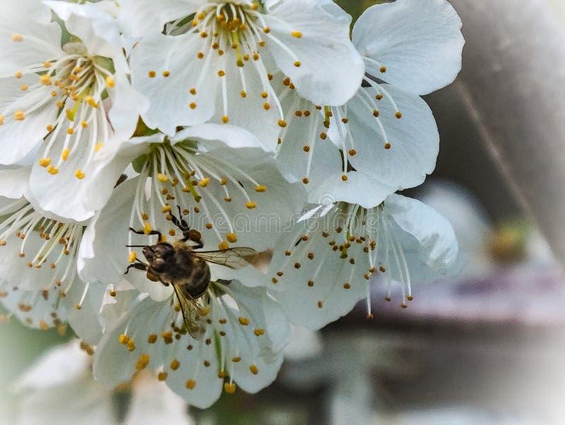 Pszczoła pracuje z czereśniowymi okwitnięciami zdjęcia stock