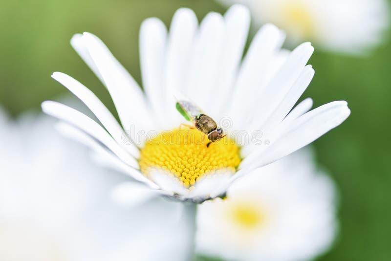 Pszczoła, pszczelarka siedzi na kwiatu chamomile i zbiera pollen zdjęcie royalty free